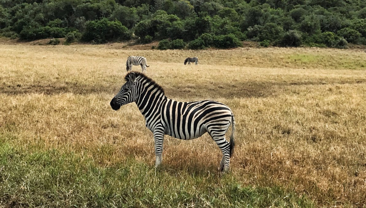 little zebra in field